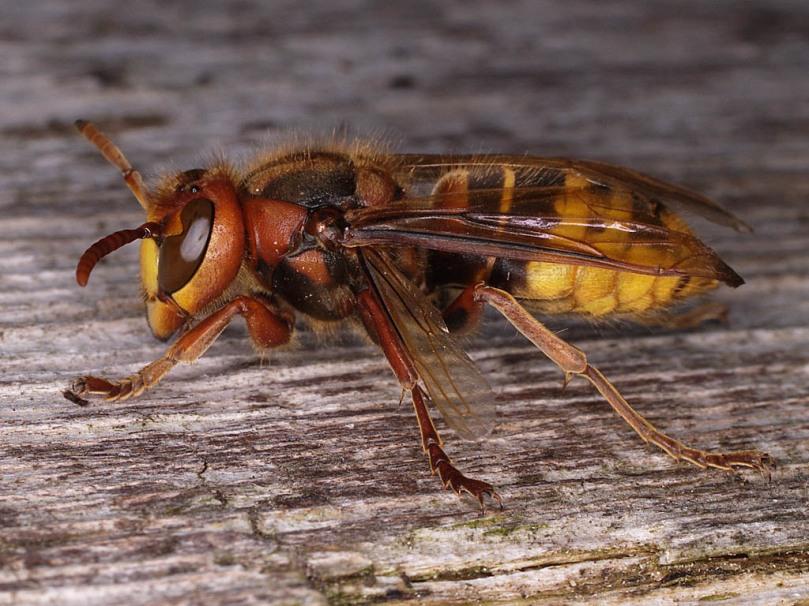 vespa capro