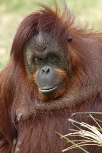 orangutanbonnie