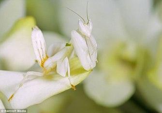Mantis religiosa sobre una orquídea