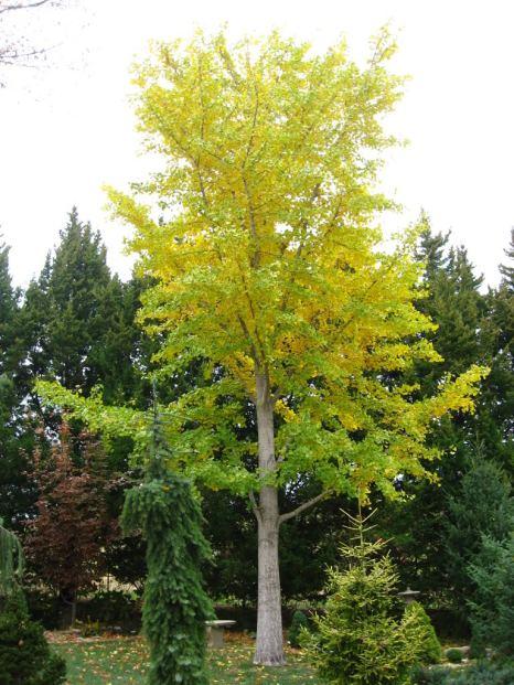 ginkgobilobatree