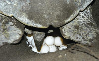 tortuga-verde-desovando