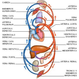 Dibujo esquemático de la circulación sanguínea de un vertebrado. Fuente: http://www.juntadeandalucia.es/averroes/~29701428/salud/nuevima/circuglob.jpg