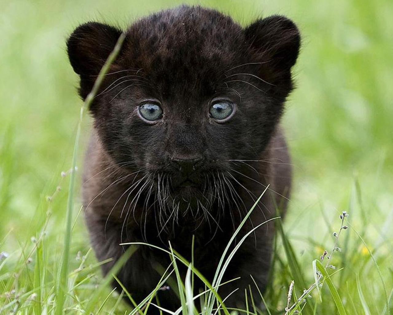 La pantera negra no existe | BioStreet