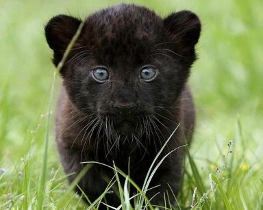 Fondos-de-pantalla-pantera-negra-imagenes-de-pantalla-cachorro