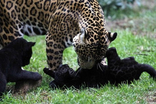 A jaguar named Daniela plays with her six week old babies at the Parque de Las Leyendas zoo in Lima