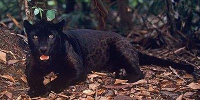 jaguar-melanico