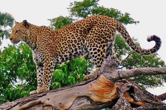 Leopard_on_a_horizontal_tree_trunk