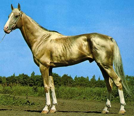 akhal-teke-horse-1