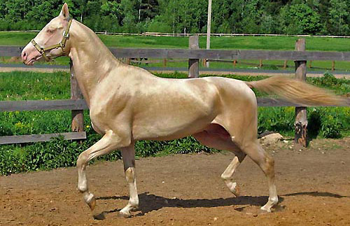 akhal-teke-showing-natural-sheen